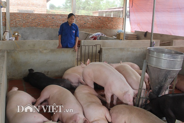 gia heo hom nay 5/2: gan tet, lo mo xuyen a hoat dong lai, gia moi nhat dat 37.000 d/kg hinh anh 2