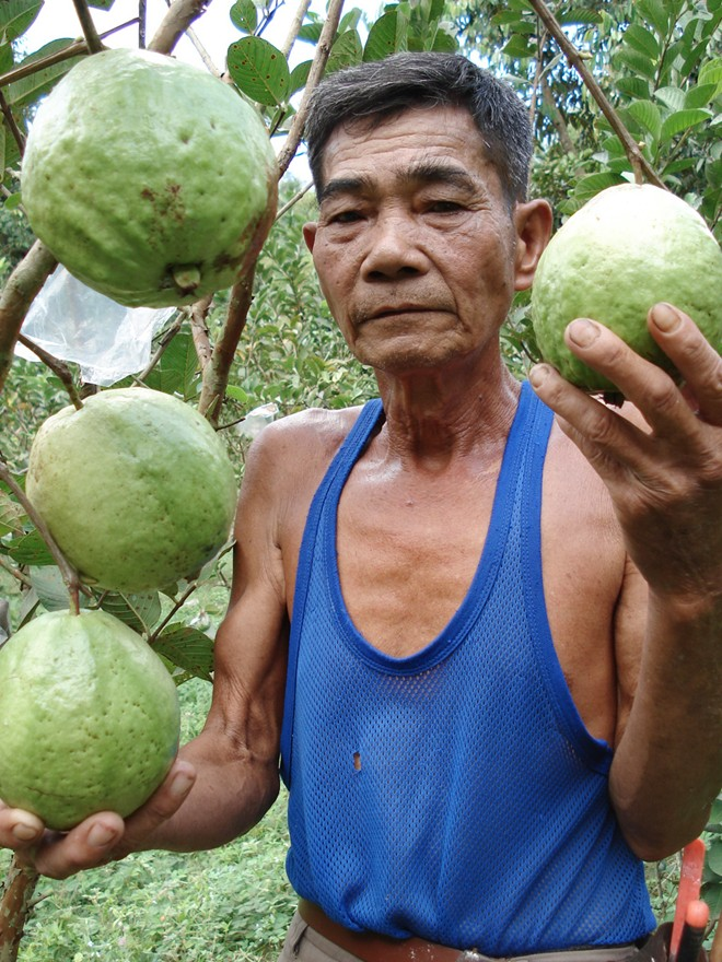 oi mien tay rot gia 20 lan, con 500 dong/kg hinh anh 3