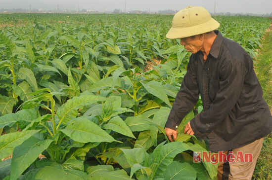 nghi loc lam giau voi hanh tam, thuoc lao, lac han quoc hinh anh 3