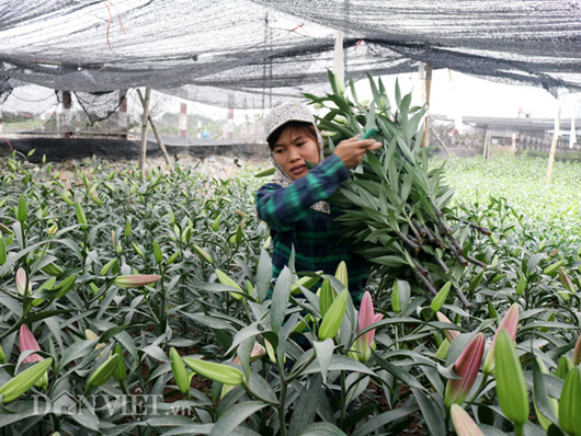 trong cay tien ty: cach trong hoa lily- loai hoa dep nhat the gioi hinh anh 3