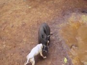 Video: Canh cho dai chien lon rung den chet o Indonesia